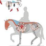 Für gesunde Pferde sind Seitengänge eine koordinative Höchstleistung.